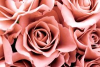 829822-pink-roses-231