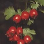 Vaistinis augalas – gudobelė