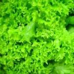 Ypatinga salotų nauda
