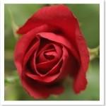 Rožė – odos uždegimas