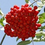 Šermukšnio kekėje – gamtos vaistinė